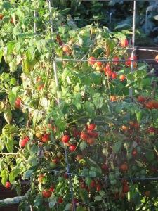 w11.cherry tomatoes