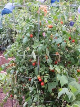 w12cherryTomatoes