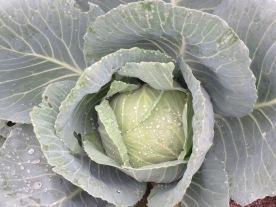 cvg16w10.cabbage