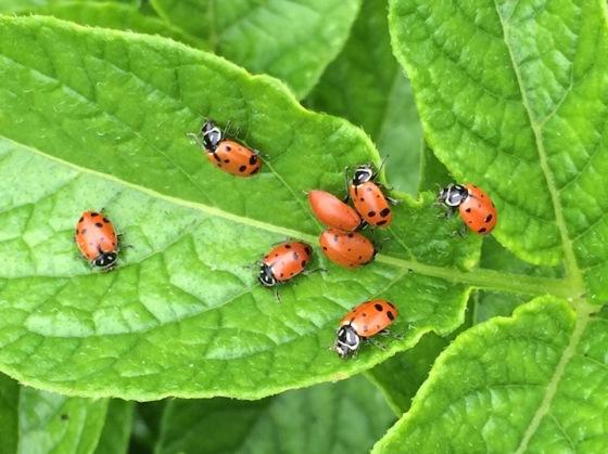 cvg16w10.ladybugs2