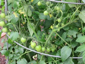 cvg16w10.tomato