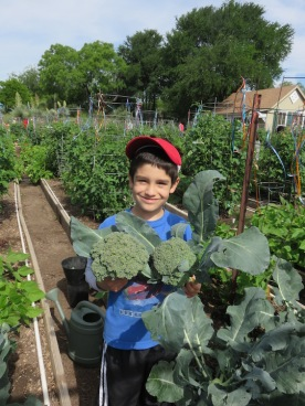 s16w10.broccoli.harvest1