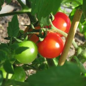 s16w10.red.cherry.tomato