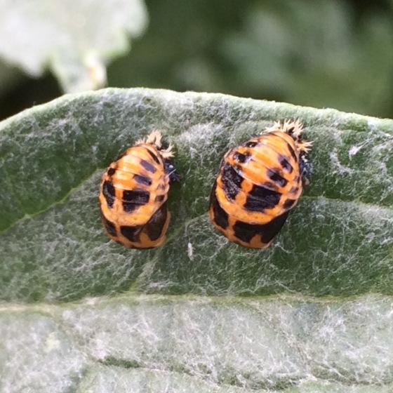 s16w6.ladybugPupae
