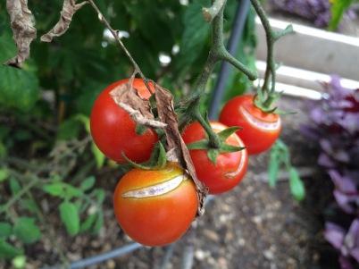 s16w14.splitTomatoes