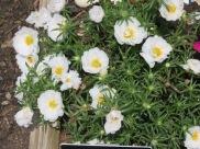 s16w15.flowerMossRose