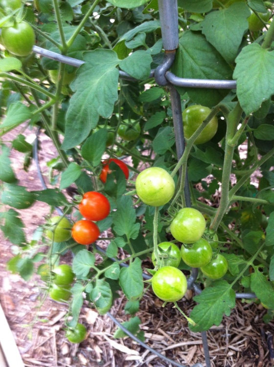 tomato 2.jpg