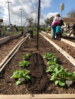CVG Blog Post #4 - potato pic after compost