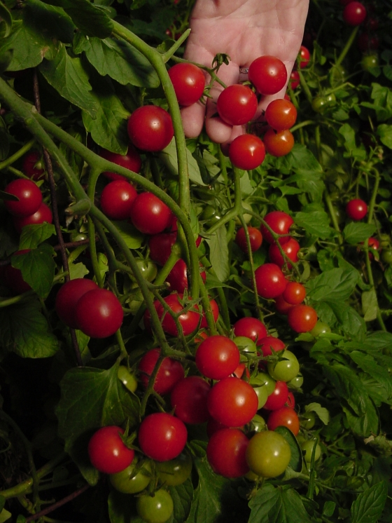 New-Dwarf-Cherry-Surprise-Tomato (1)