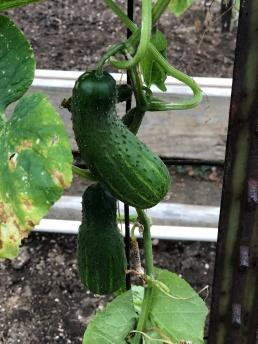 Cucumber babies