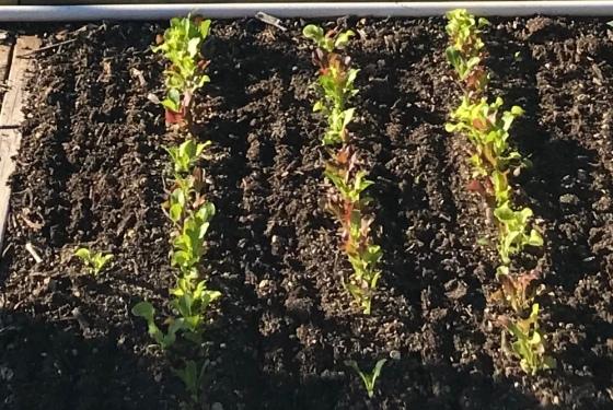 lettuce 11-3