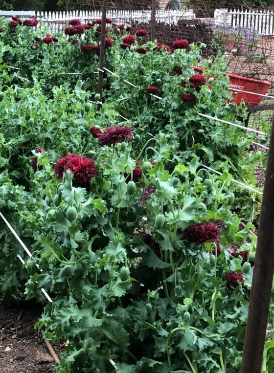 poppies week 5