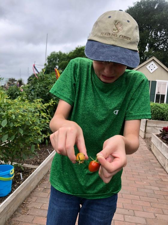 tomato pinworms