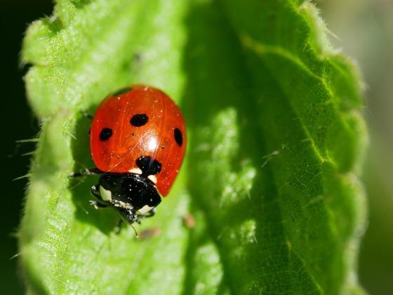 ladybug-4206954_960_720