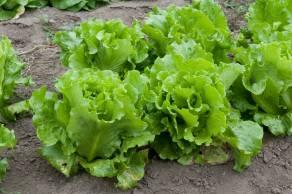 Lettuce_(4988502522)